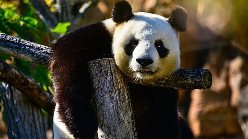 Gambar Panda Lucu dan Imut - Panda Sedang Melamun
