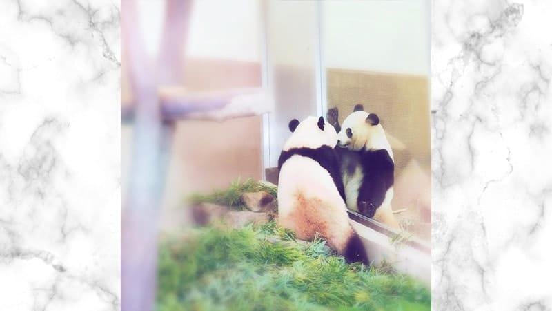 Gambar Panda Lucu dan Imut - Panda Bertatapan dengan Temannya