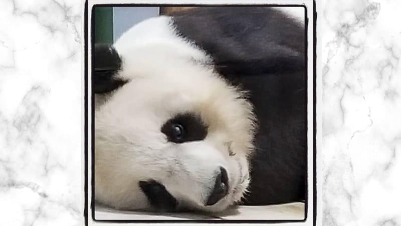Gambar Panda Lucu dan Imut - Panda Sedang Murung