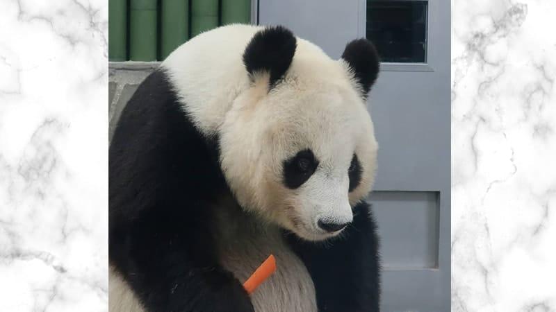 Gambar Panda Lucu dan Imut - Panda Memegang Wortel