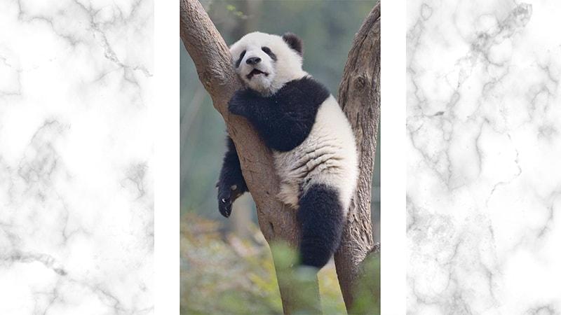 Gambar Panda Lucu dan Imut - Panda Tidur di Pohon
