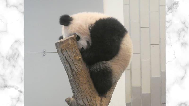 Gambar Panda Lucu dan Imut - Panda Tidur Nyenyak di Atas Pohon