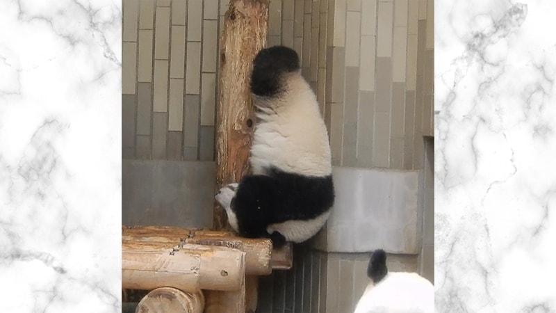 Gambar Panda Lucu dan Imut - Panda Berolahraga