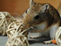 Foto Hamster Lucu dan Imut - Hamster Mainan Bola Rotan