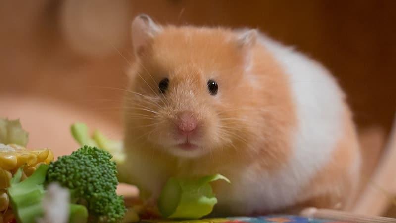 Foto Hamster Lucu dan Imut - Hamster Makan Brokoli
