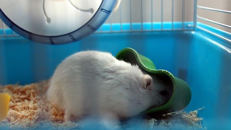 Foto Hamster Lucu dan Imut - Hamster Mencari Makanan dalam Kandang