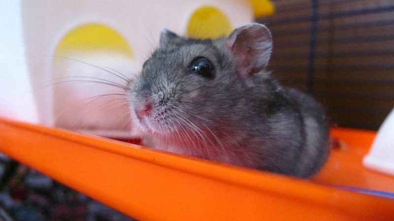 Foto Hamster Lucu dan Imut - Hamster Bengong di dalam Kandangnya