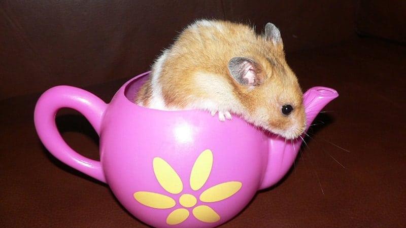 Foto Hamster Lucu dan Imut - Hamster Mainan di Teko Mini
