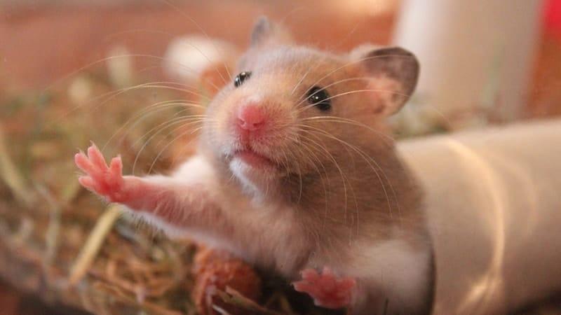 Foto Hamster Lucu dan Imut - Hamster Terlihat Melas