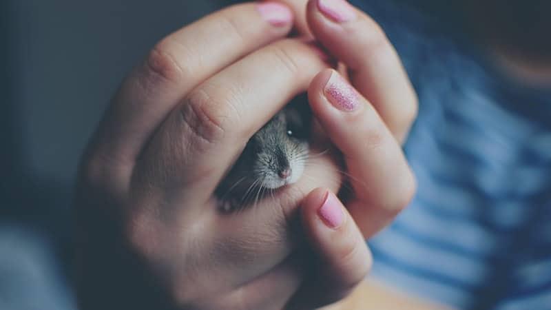 Foto Hamster Lucu dan Imut - Hamster Sembunyi di Tangan Manusia