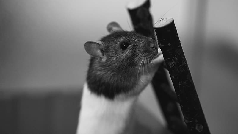 Foto Hamster Lucu dan Imut - Hamster Mainan Tangga