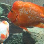 Jenis-Jenis Ikan Louhan - Dua Ikan Louhan Berenang