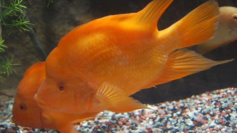 Jenis-Jenis Ikan Louhan - Dua Ikan Louhan Goldenbase Berenang dalam Akuarium