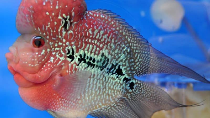 Jenis-Jenis Ikan Louhan - Ikan Louhan Bonsai
