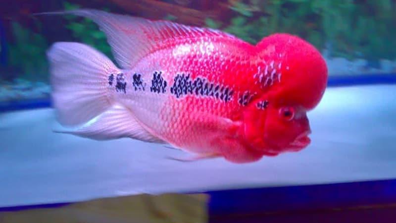 Jenis-Jenis Ikan Louhan - Ikan Louhan Super Red Dragon