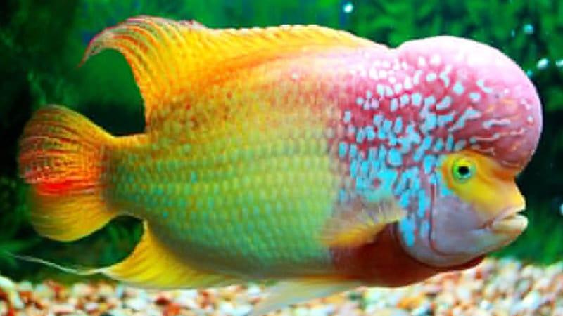 Jenis-Jenis Ikan Louhan - Ikan Louhan Rainbow King