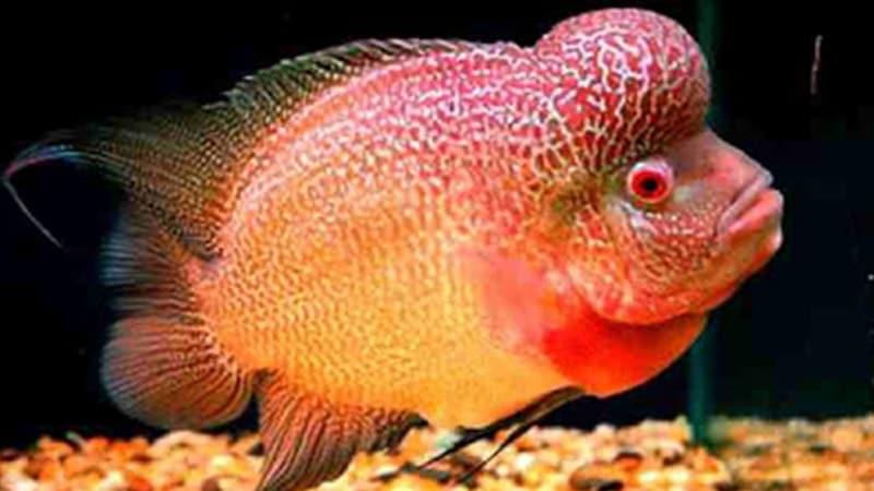 Jenis-Jenis Ikan Louhan - Ikan Louhan Super Red Monkey
