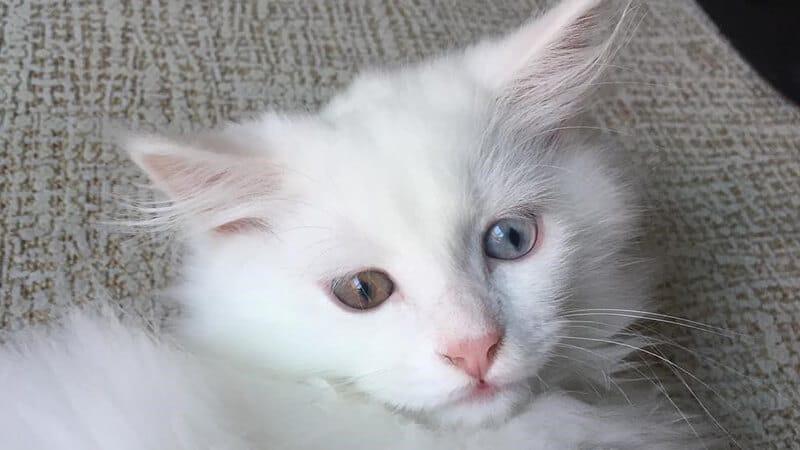 Cara merawat kucing anggora - Angora bermata ganjil