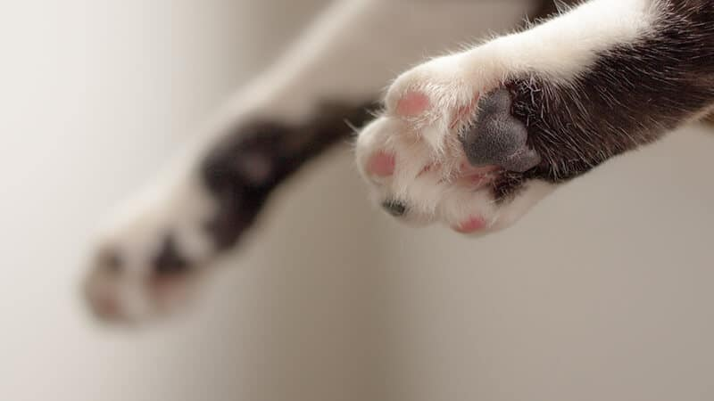Cara merawat kucing anggora - Kuku angora