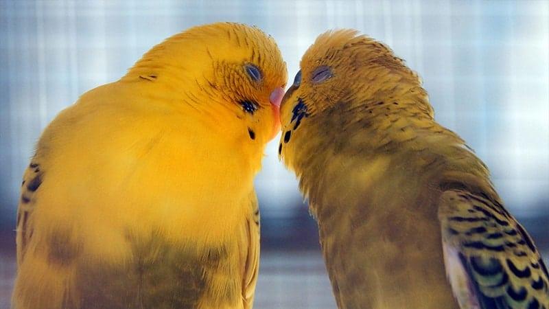 Jenis-jenis Burung Lovebird - Pasangan Lovebird