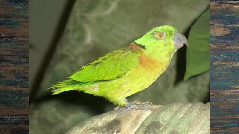 Jenis-jenis Burung Lovebird - Black-collared