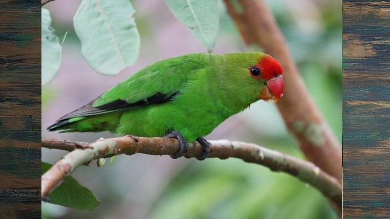 Jenis-jenis Burung Lovebird - Abyssinian
