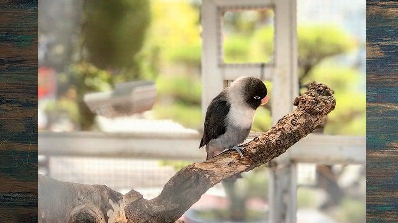 Jenis-jenis Burung Lovebird - Lovebird Batman