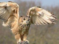Jenis-Jenis Burung Hantu - Burung Hantu Mengepakkan Sayap