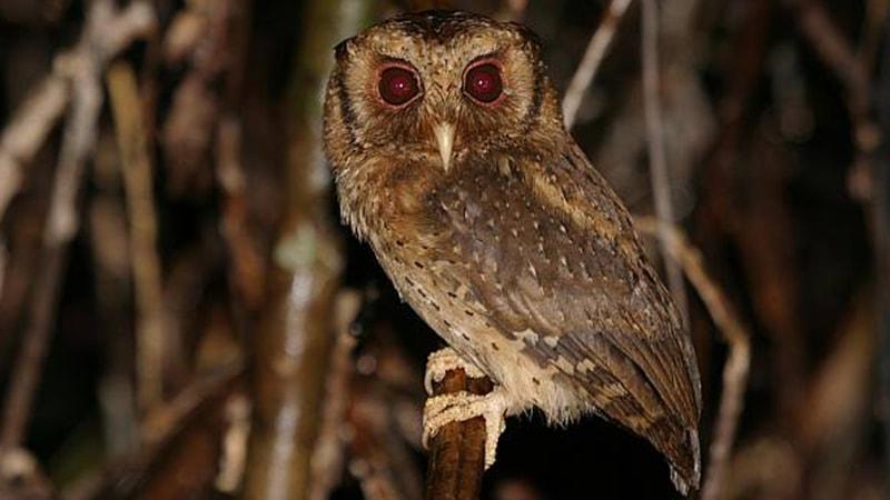 Jenis-Jenis Burung Hantu - Burung Hantu Celepuk Merah