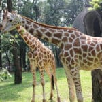 Kebun Binatang Ragunan Jakarta - Jerapah