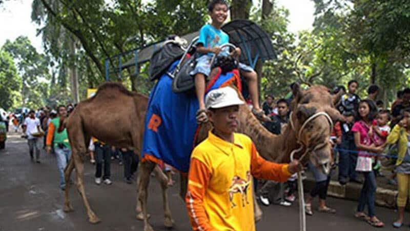 Kebun Binatang Ragunan Jakarta - Unta Tunggang