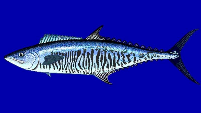 Jenis-Jenis Ikan Laut - Tenggiri