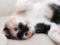 Nama-Nama Kucing Lucu - Kucing Belang Tiga Bergulung