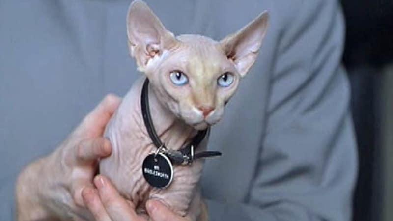Nama-Nama Kucing Lucu - Mr. Bigglesworth dalam Film Austin Power