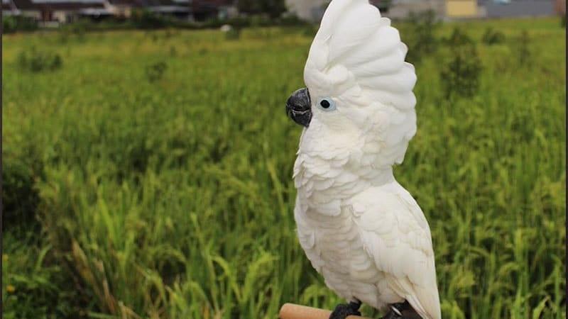 jenis-jenis burung kakak tua - putih