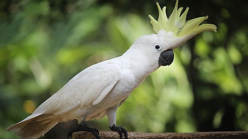 jenis-jenis burung kakak tua - koki