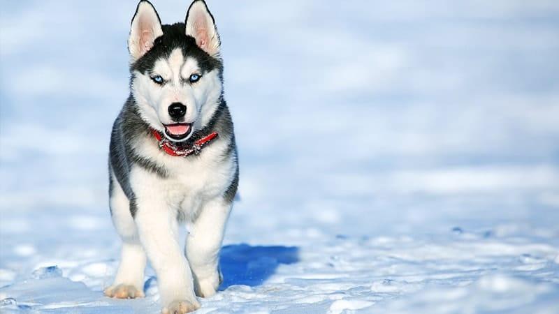 jenis-jenis anjing berbahaya - siberian husky