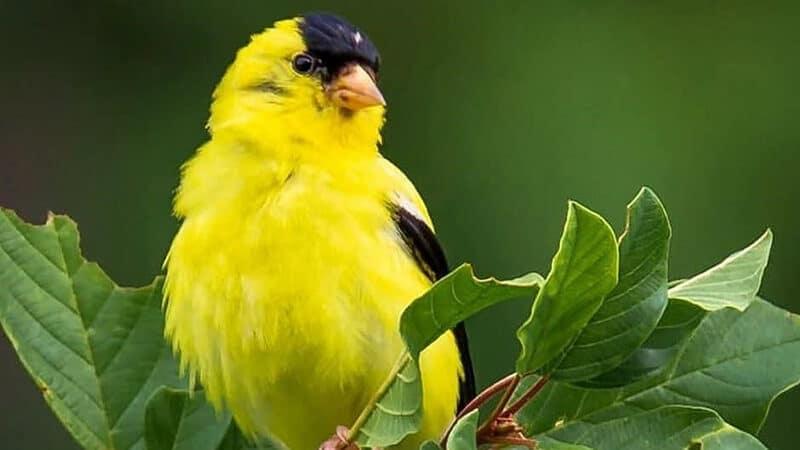 Jenis-jenis burung kenari - Burung di daun