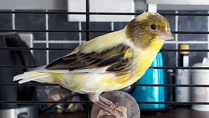 Jenis-jenis burung kenari - Burung kenari di atas meja