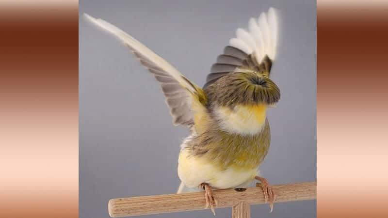Jenis-jenis burung kenari - Tipe stafford