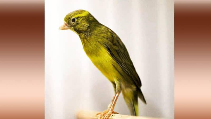 Jenis-jenis burung kenari - Tipe japan hoso