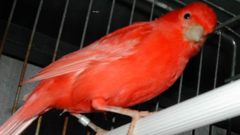 Jenis-jenis burung kenari - Tipe kenari merah