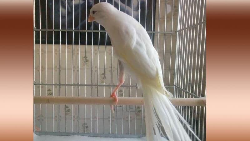 Jenis-jenis burung kenari - Tipe kenari putih
