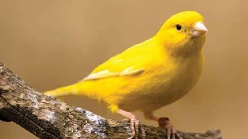 Jenis-jenis burung kenari - Tipe lipokrom kuning