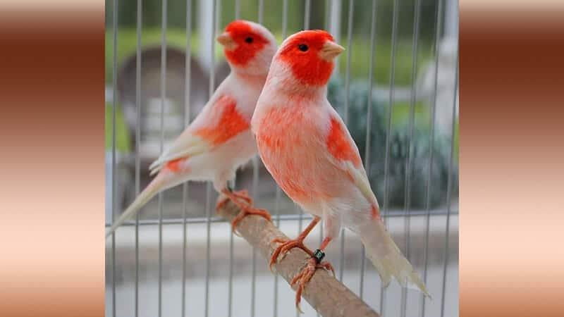 Jenis-jenis burung kenari - Tipe mosaic