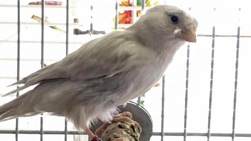 Jenis-jenis burung kenari - Tipe silver factor
