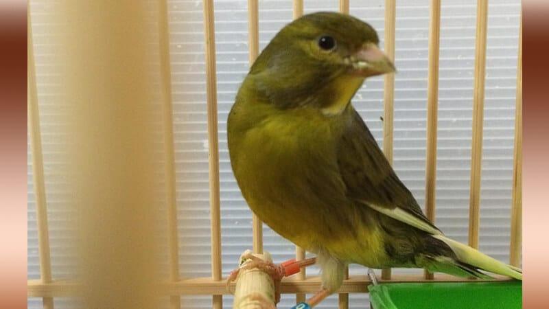 Jenis-jenis burung kenari - Tipe harz roller