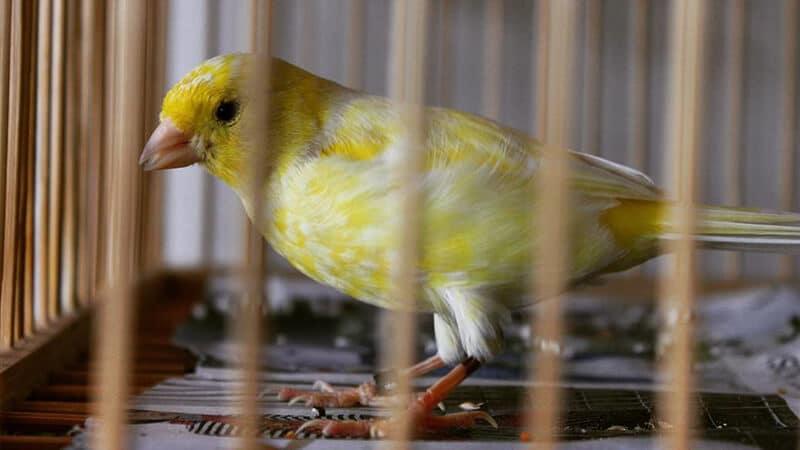 Jenis-jenis burung kenari - Tipe waterslagger