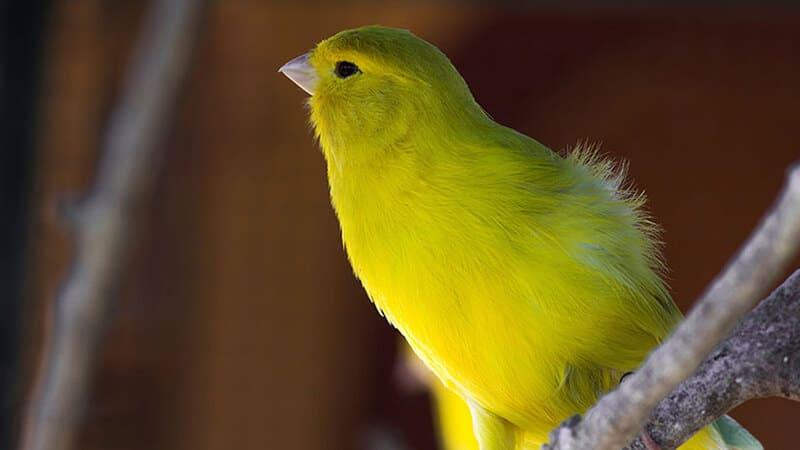 Jenis-jenis burung kenari - Tipe russian singer