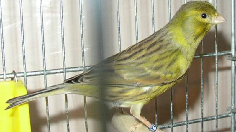 Jenis-jenis burung kenari - Tipe american singer